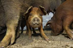 Grippe porcine : 33 décès en trois mois en Iran