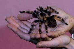 Du venin d'araignée pour calmer la douleur