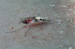 Chikungunya : toutes les conditions d'une épidémie sont réunies