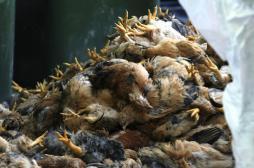 Grippe aviaire : le Canada abat 146 000 volailles