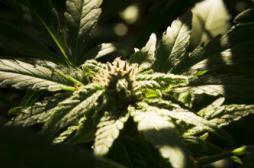 Rhumatismes : les effets du cannabis thérapeutique contestés