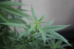 Le cannabis ferait pousser les seins des hommes