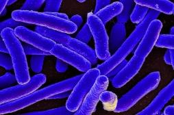 Escherichia coli : comment la bactérie peut être dangereuse