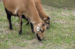Ile Maurice : la fièvre aphteuse se répand dans les cheptels