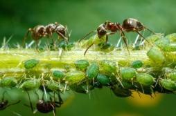 La fourmi, la clé de l'antibiotique de demain
