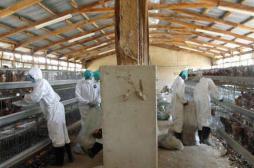 Grippe aviaire H5N1 : la FAO demande 20 millions de dollars pour stopper l'épidémie en Afrique
