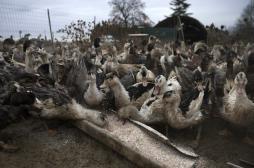 Grippe aviaire : les risques pour la santé écartés
