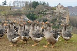 Grippe aviaire : les nouveaux cas ne menacent pas l'approvisionnement en foie gras