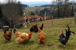 Grippe aviaire : un premier cas...