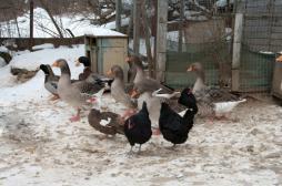 Grippe aviaire : des agriculteurs entrent en résistance