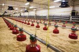 Grippe aviaire : l'abattage a commencé dans 150 communes