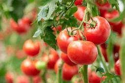 Alerte rouge sur les tomates et poivrons