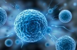 Infertilité : comment les ovules humains sélectionnent les spermatozoïdes
