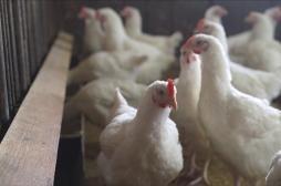 Grippe aviaire H5N8: «pas de risque de transmission à l'homme» assure le gouvernement