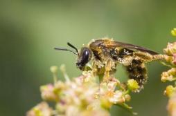 Cancer du sein triple négatif: la piste prometteuse du venin d'abeille