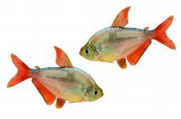 Dépression : comment le prozac transforme les poissons en moutons