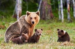 Ours : des éleveurs craignent l'arrivée d'une maladie mortelle pour l'homme