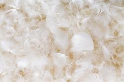 Infection pulmonaire : attention à la literie en plumes
