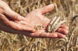 Allergies alimentaires: l'immunothérapie orale efficace contre les allergies au blé