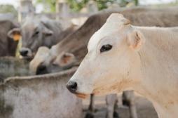Tuberculose bovine : la maladie est arrivée en Normandie