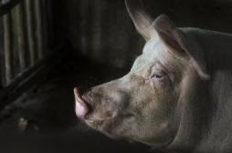 Des scientifiques américains sont parvenus à ressusciter des cerveaux de cochons décapités