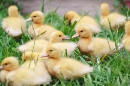 Un laboratoire girondin invente un vaccin contre une forme de la grippe aviaire