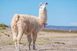 Coronavirus : les anticorps des lamas pourraient nous sauver