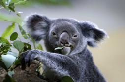 Chlamydia : une piste de vaccin grâce aux koalas