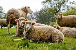 L'épizootie de fièvre catarrhale s'étend en France