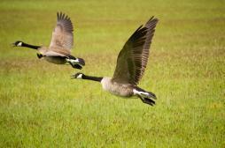 Grippe aviaire : les élevages d'oiseaux doivent être confinés