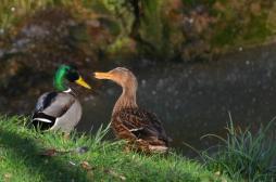 Grippe aviaire : l'abattage préventif élargi à 45 communes