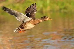 Grippe aviaire : la circulation des animaux reprend dans le Sud-Ouest