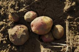 Cancers digestifs : les pommes de terre pourraient diminuer les risques