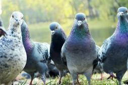 Grippe aviaire : les concours de pigeons voyageurs autorisés