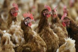 Grippe aviaire : la Corée du Sud...