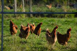 Grippe aviaire : l'exportation des...