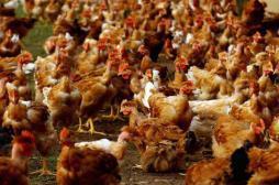 Grippe aviaire : 58 % des Français restent sereins