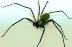 Araignée : deux femmes victimes du venin de la Recluse brune
