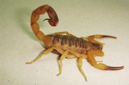 Scorpion : un anti-inflammatoire contre les piqûres mortelles