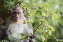Sida : des anticorps protègent des singes pendant 6 mois