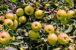 La pomme est le fruit le plus chargé en pesticides
