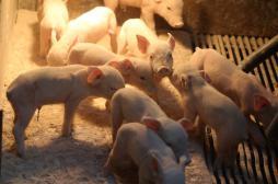 Greffe d'organe : les cochons génétiquement modifiés suscitent l'espoir