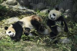 Le panda, un carnivore qui s'ignore
