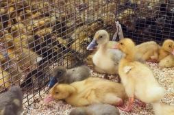 Grippe aviaire : plus de 9000 canards abattus dans le Gers pour éviter une épidémie