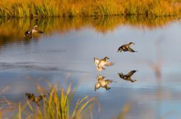 Grippe aviaire : 400 communes sous surveillance