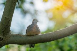 Grippe aviaire : la chasse à la tourterelle ouverte dans le Lot-et-Garonne