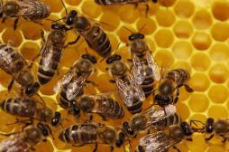 Piqûre d'abeille : attention aux effets cardiaques tardifs