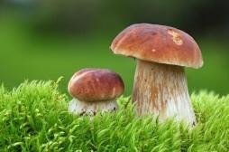 Des champignons hallucinogènes pour