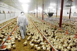 Grippe aviaire : un premier cas détecté dans le Tarn