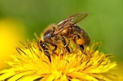 Néonicotinoïdes : la toxicité pour les abeilles confirmée